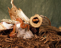 Two red cornsnake Stock Photo
