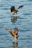 Black kite_04. Black Kites ready to hunt Stock Photo