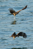 Black kite_05. Black Kites ready to hunt part 2 Stock Photo