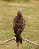 Black Kite. A Black Kite perched on a fence post Royalty Free Stock Photography