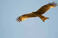 Black kite Stock Image