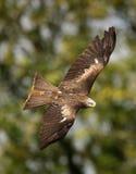 Black Kite. Portrait of a Black Kite in flight Stock Photo