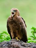 Black Kite. Royalty Free Stock Photos