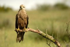 black kite Royalty Free Stock Photos
