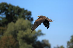 Black kite Stock Images