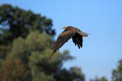 Black kite Stock Images