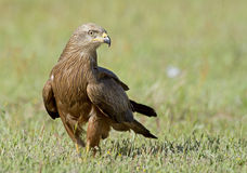 Black kite Royalty Free Stock Photo