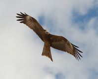 Black kite Stock Photos
