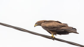 Black Kite aka Amora Stock Photos