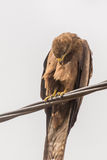Black Kite aka Amora Royalty Free Stock Photo