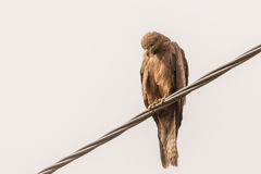 Black Kite aka Amora Royalty Free Stock Photos