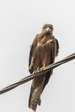 Black Kite aka Amora Royalty Free Stock Photography