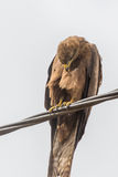 Black Kite aka Amora Royalty Free Stock Image