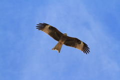 Black Kite from below Royalty Free Stock Photography