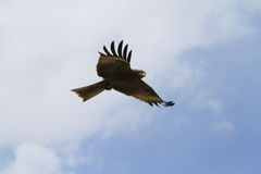 Black Kite Stock Photography