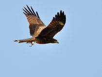 Black Kite Bird Stock Photo