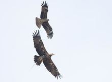 Black Kite Bird Royalty Free Stock Images