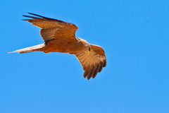 Black kite bird flying in the sky. Black kite bird flying in the blue sky Stock Photo