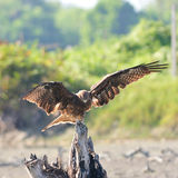 Black Kite Royalty Free Stock Photography