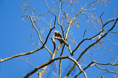 Black kite bird perched on naked tree branch. In Coimbra, Portugal, looking down Royalty Free Stock Image