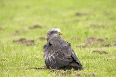 Black Kite: Bird of Prey. Stock Image
