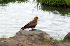 Black Kite (bird of prey) Royalty Free Stock Photography