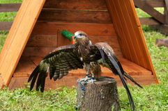 Black kite bird sitting on the perch and opening the wings out Stock Photos
