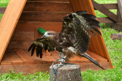Black kite bird sitting on the perch and opening the wings out Stock Image