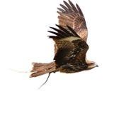 Black Kite Stock Photography