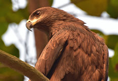 Black kite. These birds generally perch on highs of trees usually palm. But this time I got it at very low height Stock Images