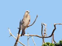 Black Kite on a bough Royalty Free Stock Image
