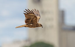 Black Kite between the buildings Stock Photos