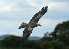 Black Kite Royalty Free Stock Photography