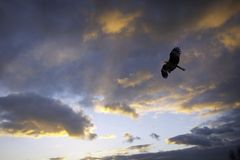 Black kite and cloudy sunset. Sunset colour and a bird in the sky Royalty Free Stock Photo