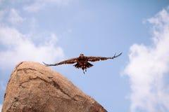 Black kite Eagle in flight Stock Image