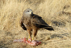 Black kite eating Stock Image