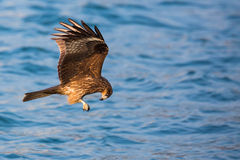 Black Kite eating. In flight Royalty Free Stock Photo