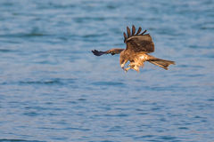 Black Kite eating. In flight Stock Photo