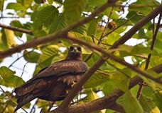 Black kite. An eye contact with black kite perched majestically in a tree Royalty Free Stock Photo