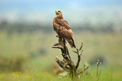 Black kite in the field on the wooden watchtower Stock Photography