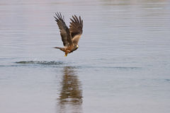 Black kite fishing. Black kite in flight fishing, Zambia Royalty Free Stock Image