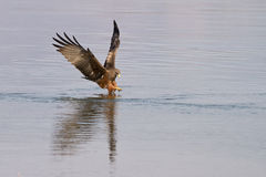 Black kite fishing Stock Photography