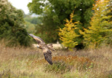 Black Kite in flight. A Black Kite flying over a wild flower meadow Royalty Free Stock Photos