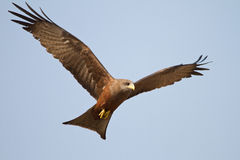 Black kite in flight Royalty Free Stock Photo