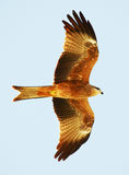 Black Kite in Flight. A carnivorous bird, the Australian Black Kite, in flight wings fully spread Royalty Free Stock Images