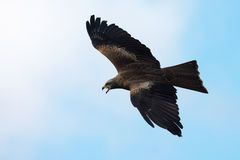 Black Kite in flight Stock Images