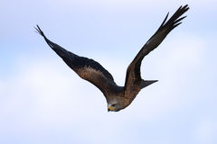Black Kite in flight Stock Photography