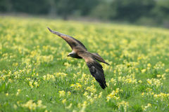 Black Kite in flight. Black Kite flying over a wild flower meadow Royalty Free Stock Photos