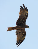 Black kite in flight from below Stock Image