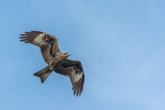 Black Kite in flight Stock Photo